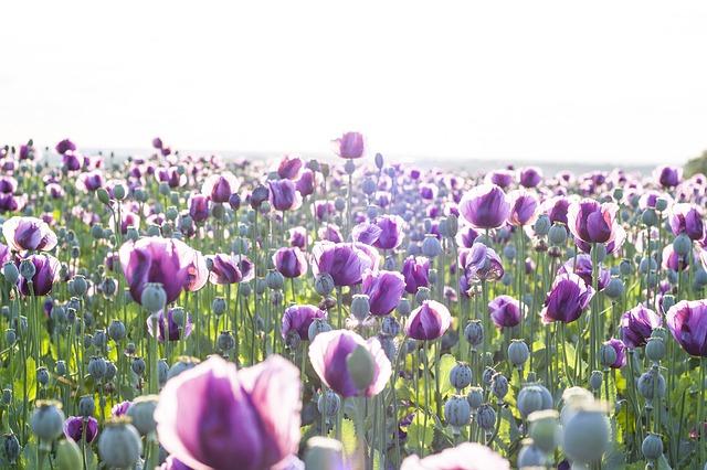 El opio en homeopatía: OPIUM, el dolor que no cesa